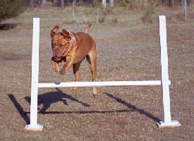 Scully jumping at Agility.